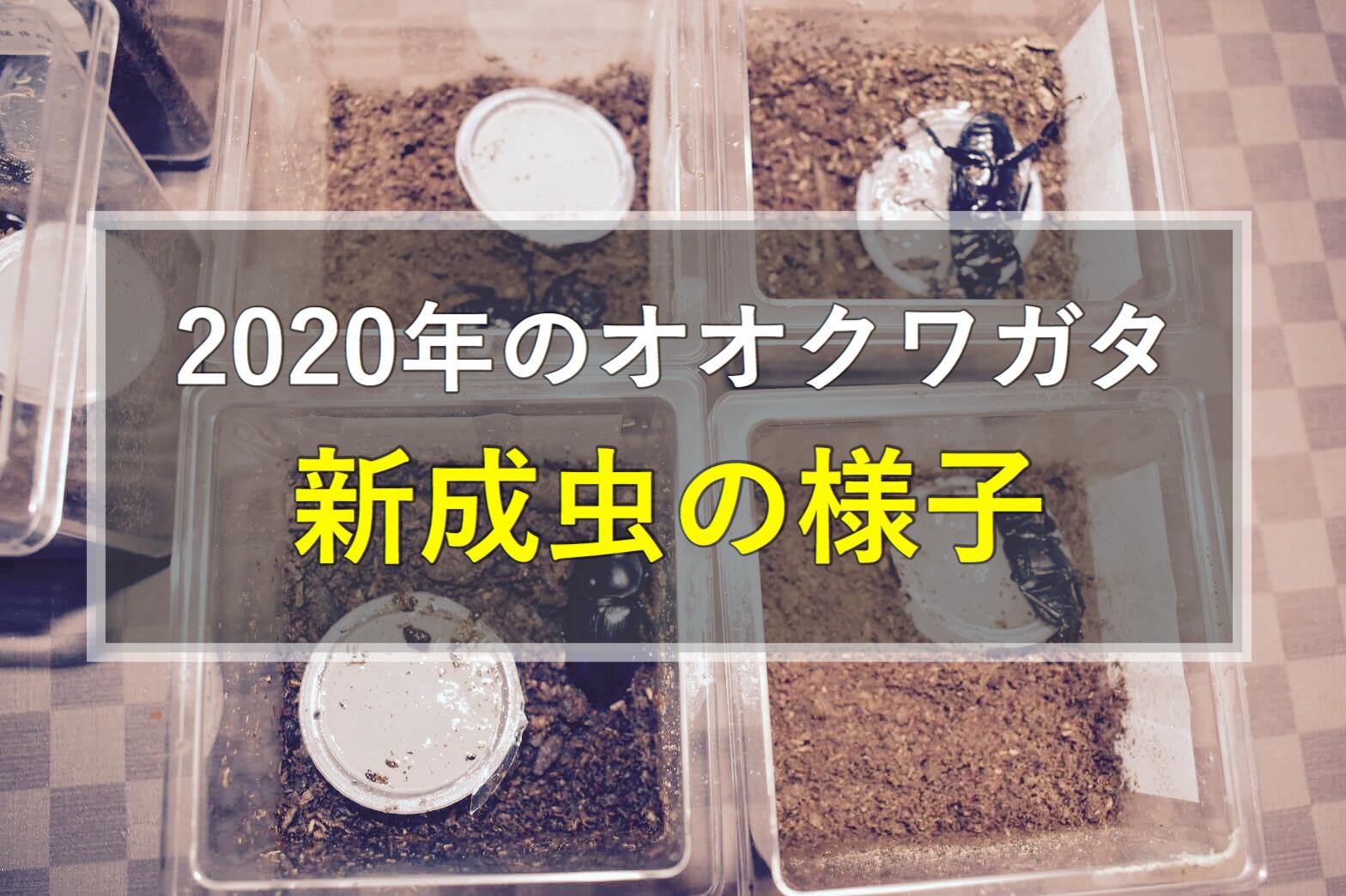 オオクワガタ新成虫3